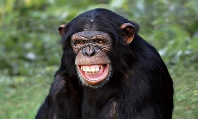 Click image for larger version.  Name:A-chimpanzee-baring-its-t-009.jpg Views:3532 Size:51.8 KB ID:65039