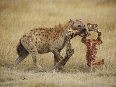 Click image for larger version.  Name:hyena.jpg Views:21 Size:36.5 KB ID:208092