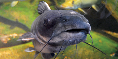 Click image for larger version.  Name:channel-catfish-760x380.png Views:0 Size:735.5 KB ID:209989