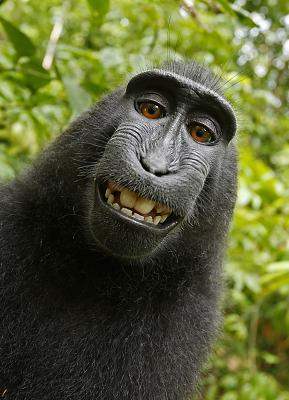 Click image for larger version.  Name:Macaca_nigra_self-portrait_large.jpg Views:0 Size:1.60 MB ID:137483